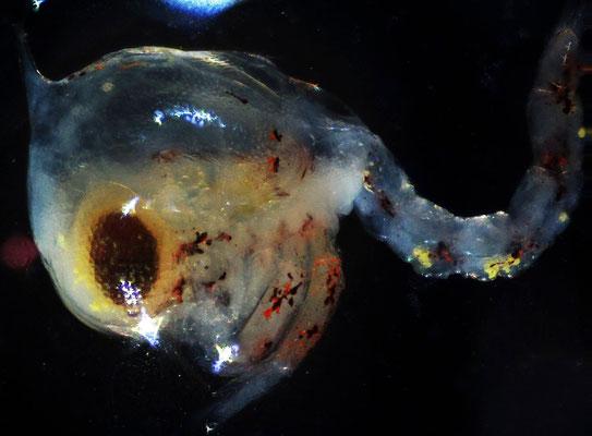 Frische M. aubryi-Larve unter dem Mikroskop. Stack aus 6 Aufnahmen.