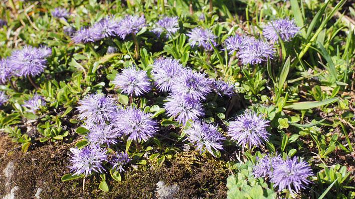 Kärnten, Herzblättrige Kugelblume, globularia cordifolia