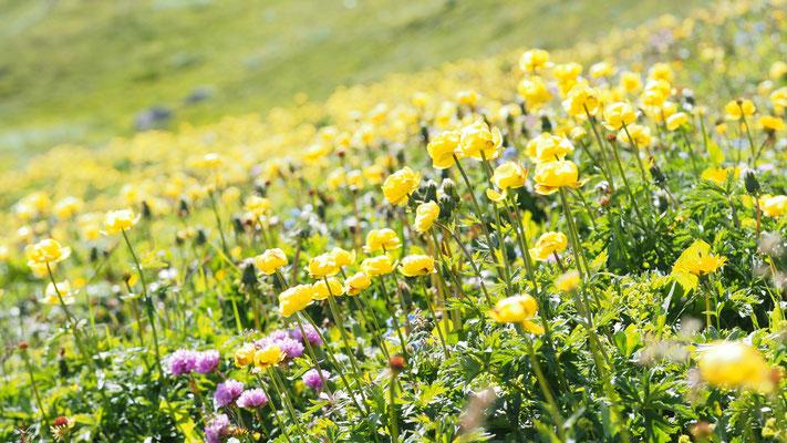 Steiermark, Trollblumen