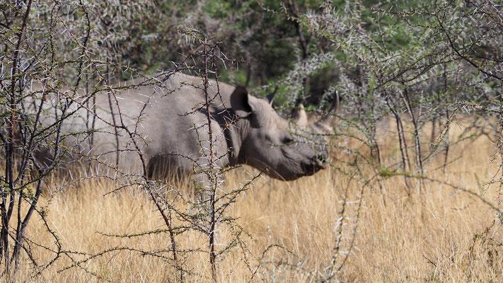 noch ein Nashorn