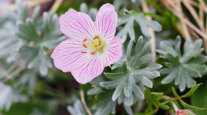 Italien, Silber-Storchschnabel, geranium argenteum