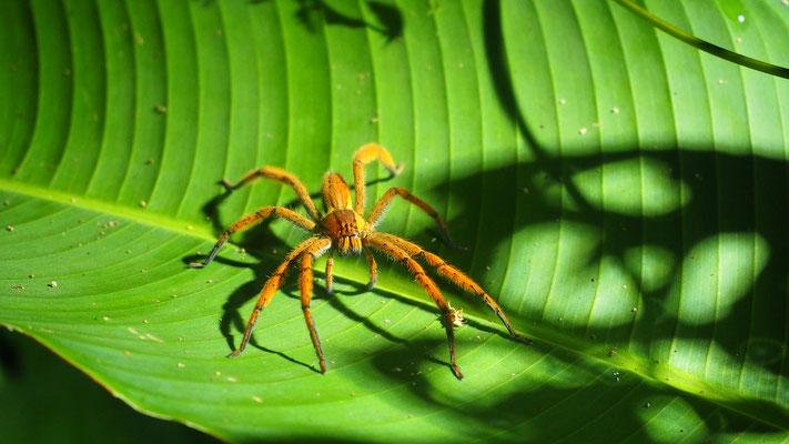 Costa Rica, Wolfsspinne