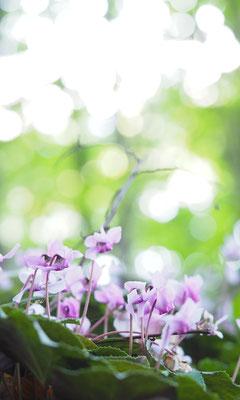 Österreich, Europäisches Alpenveilchen, cyclamen purpurascens