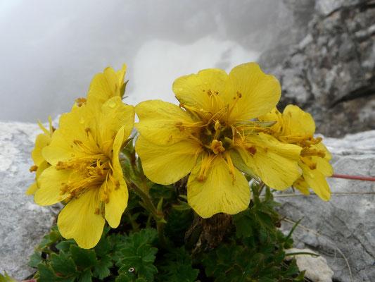 Slowenien, Berg-Nelkenwurz, geum montanum