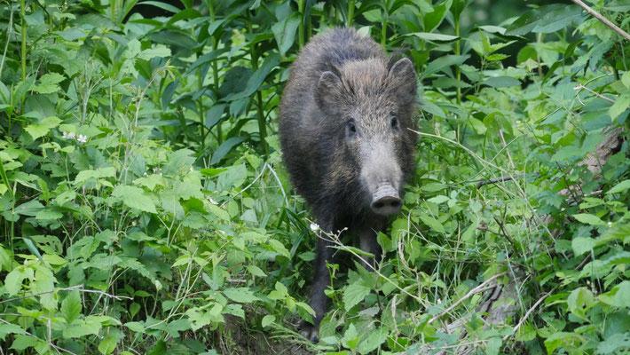 Österreich, Wildschwein (Nationalpark Donauauen)
