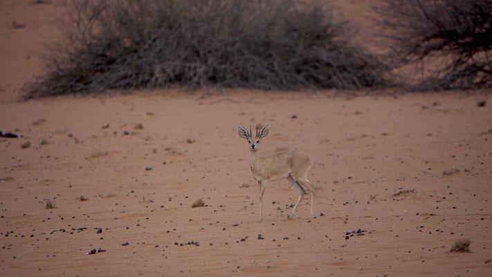 das Steinböckchen ist ein zierlicher Vertreter und zählt zu den kleineren Antilopenarten