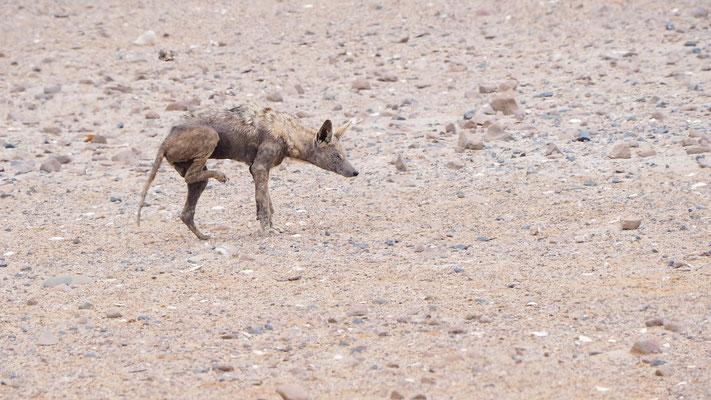Braune Hyäne (Cape Cross)