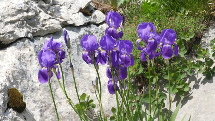 Kroatien, Schwertlilie, iris