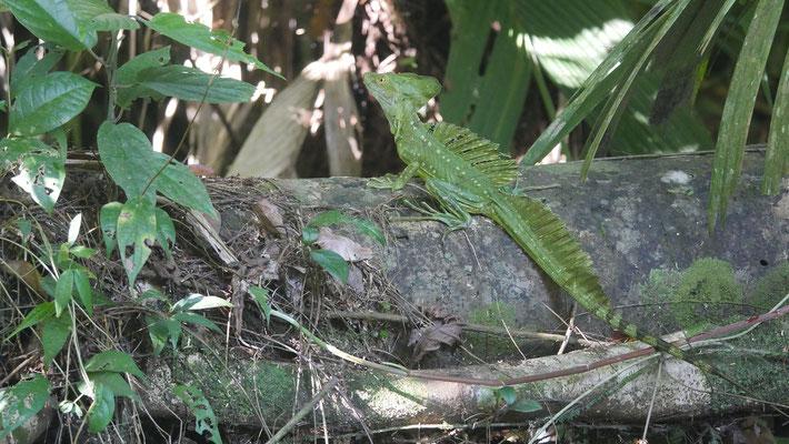 Costa Rica, Stirnlappenbasilisk