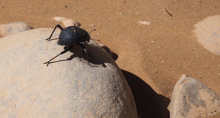 der Tok-Tokkie-Käfer