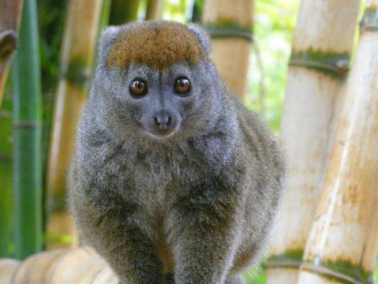 Madagaskar, Nördlicher Bambuslemur