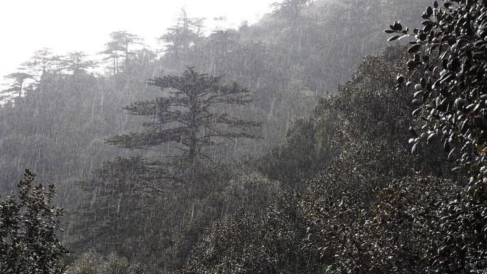 Wald der Zedern, Zypern
