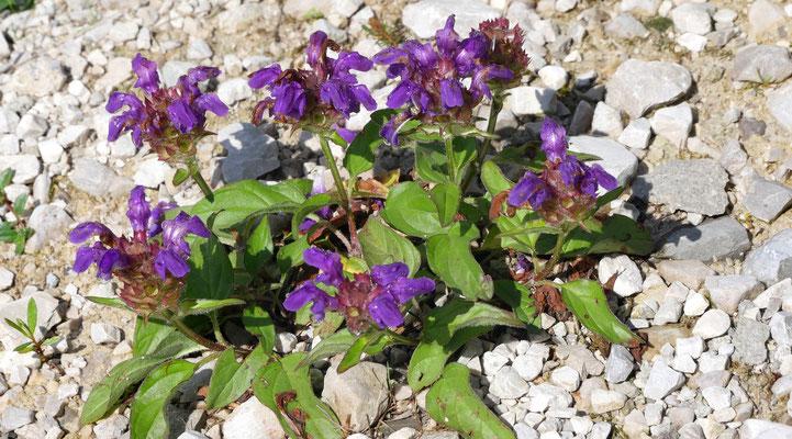 Italien, Großblütige Braunelle, prunella grandiflora