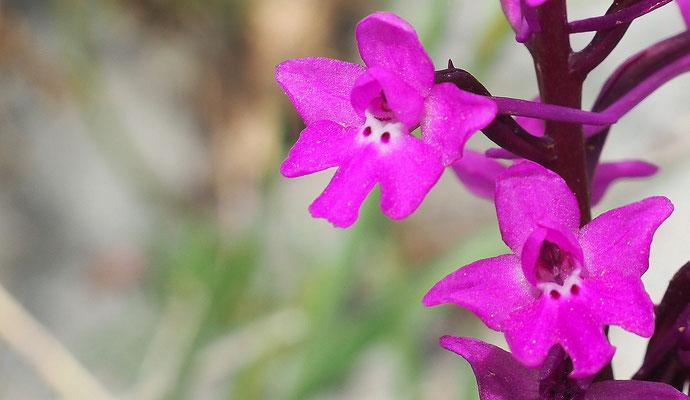 Vierpunkt-Knabenkraut, orchis quadripunctata (Italien)