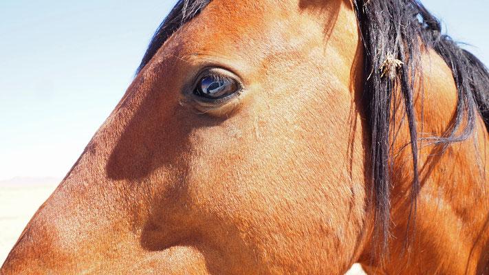 die oft auch als Namib-Pferde bezeichneten Tiere haben kein leichtes Leben