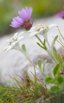 Alpen-Edelweiß, leontopodium nivale) und Alpen-Aster, aster alpinus