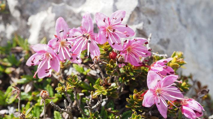 Steiermark, Zwerg-Alpenrose, rhodothamnus chamaecistus
