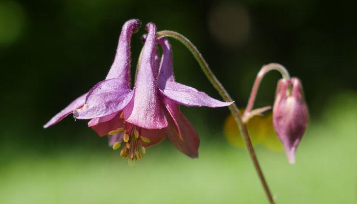 Oberösterreich, Gewöhnliche Akelei, aquilegia vulgaris