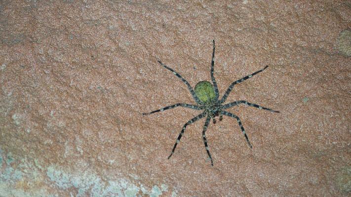eusparassus (Krabbenspinne)