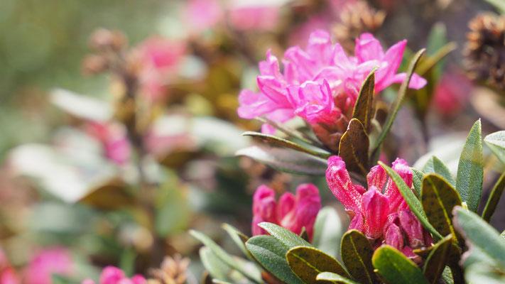 Kärnten, Rostblättrige Alpenrose, rhododendron ferrugineum