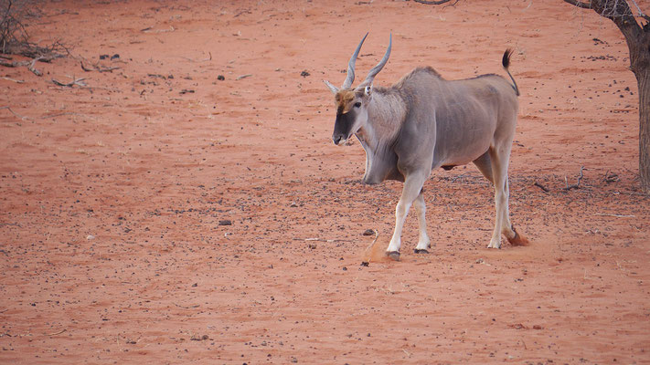 Elenantilope (Kalahari)