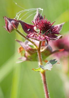 Österreich, Sumpf-Blutauge, potentilla palustris