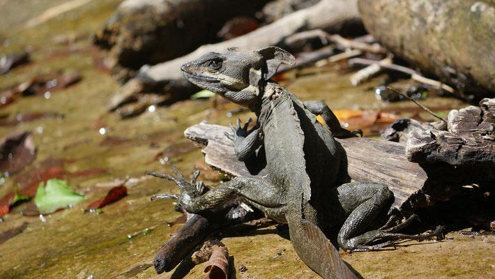 Costa Rica, Helmbasilisk