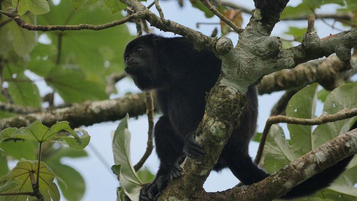 Costa Rica, Mantelbrüllaffe
