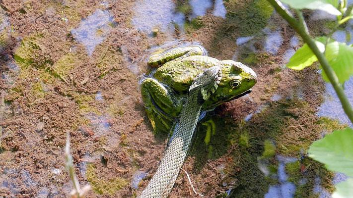 Österreich, Ringelnatter mit Frosch