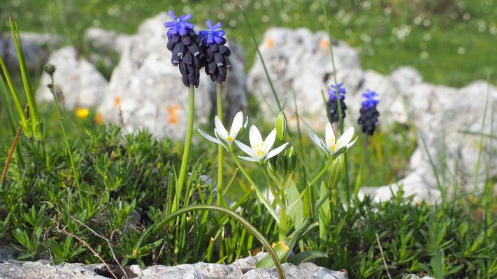 Italien, Übersehene Traubenhyazinthe und Berg-Milchstern, muscari neglectum, ornithogalum montanum