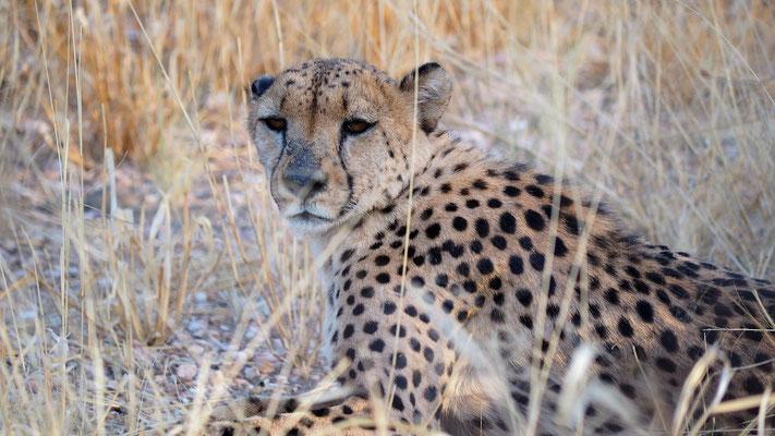 Gepard (Düsternbrook)