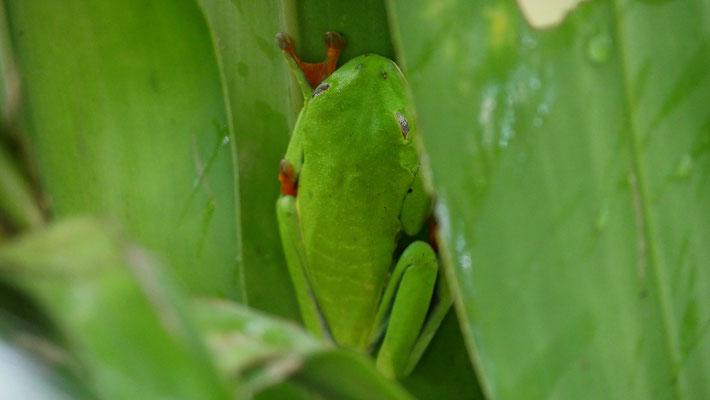 Costa Rica, schlafender Rotaugenfrosch