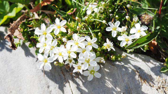 Steiermark, Zweiblütiges Sandkraut, arenaria biflora