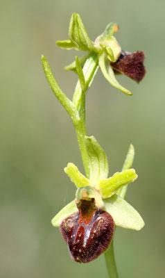 Spinnen-Ragwurz, ophrys sphegodes var. classica