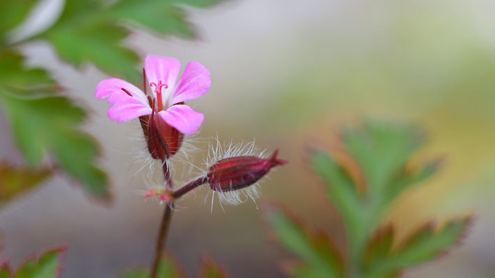 Oberösterreich, Reiher-Storchschnabel, erodium cicutarium