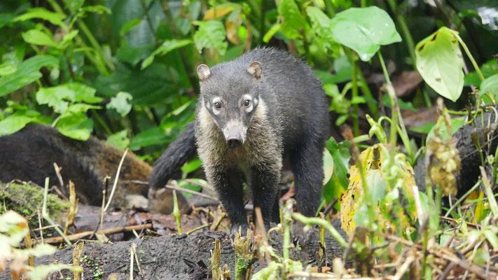 Costa Rica, Nasenbär