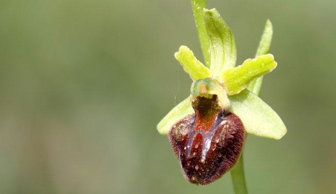 Spinnen-Ragwurz, ophrys sphegodes var. classica (Italien)