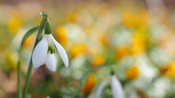 Oberösterreich, Schneeglöckchen, galanthus nivalis