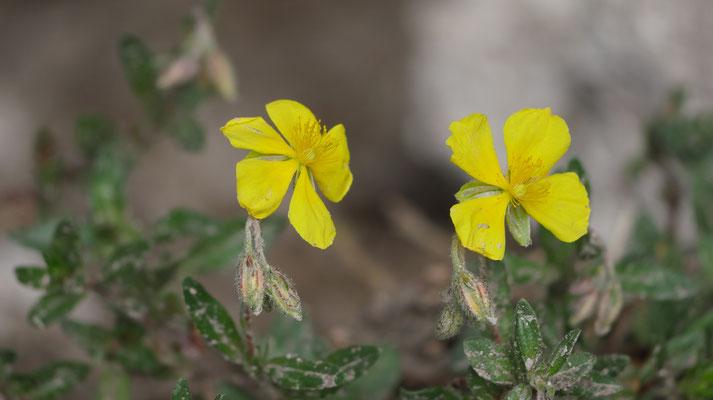 Niederösterreich, Gelbes Sonnenröschen, helianthemum nummularum