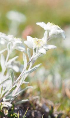 Österreich, Alpen-Edelweiß, leontopodium nivale