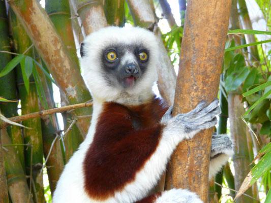Madagaskar, Coquerel-Sifaka