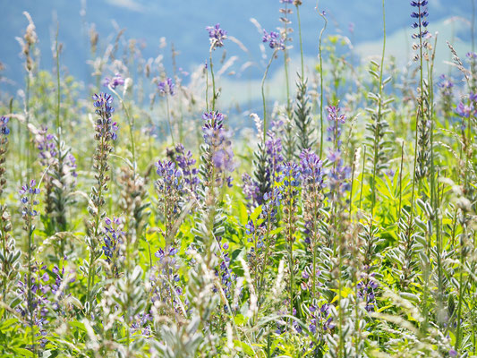 Steiermark, Vielblütige Lupine, lupinus polyphyllus