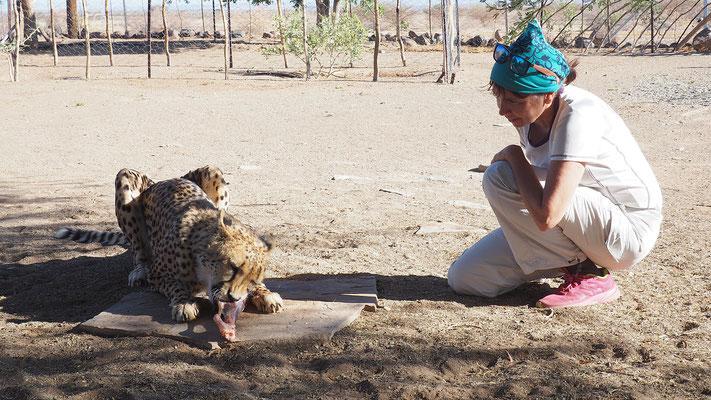 den Geparden ganz nahe in Gariganus, die Tiere kann man leider nicht mehr auswildern