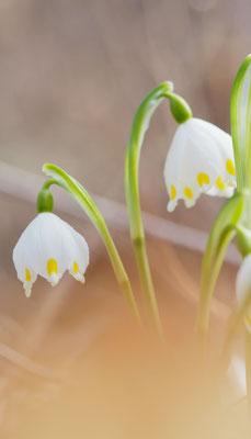 Österreich, Frühlings-Knotenblume, leucojum vernum