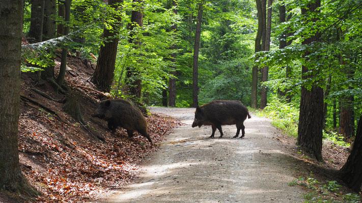 Österreich, Wildschweine