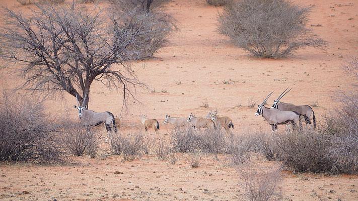 Oryxantilopen, die Weibchen und Männchen sind kaum auseinander zu halten, im Gegensatz zu ihrem Nachwuchs
