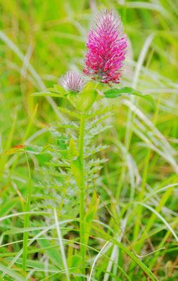 Purpurklee, trifolium rubens