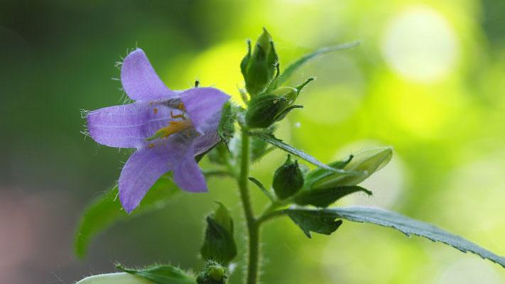 Niederösterreich, Nesselblättrige Glockenblume, campanula trachelium