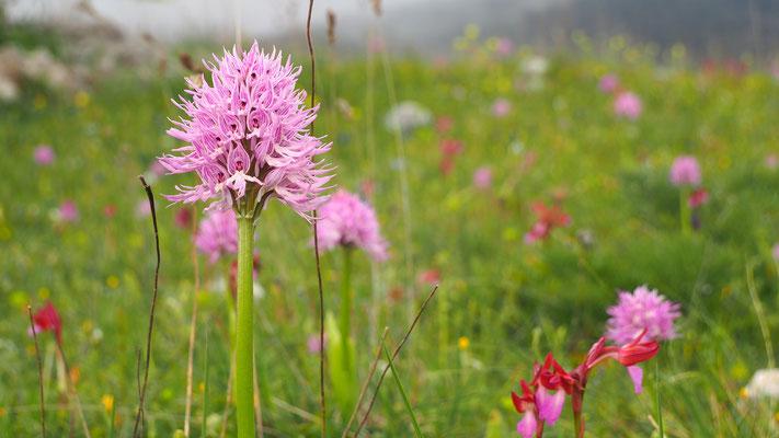 Italienisches Knabenkraut, orchis italica (Italien)