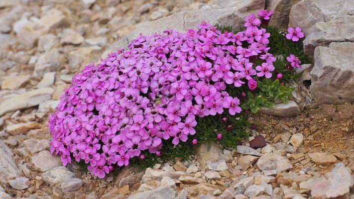 Italien, Stängelloses Leimkraut, silene acaulis subsp. longiscapa